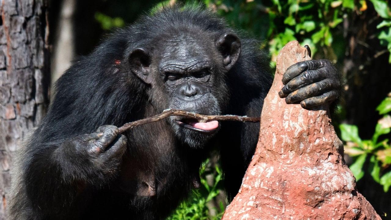 Meet the Chimps Episode: Episode 1