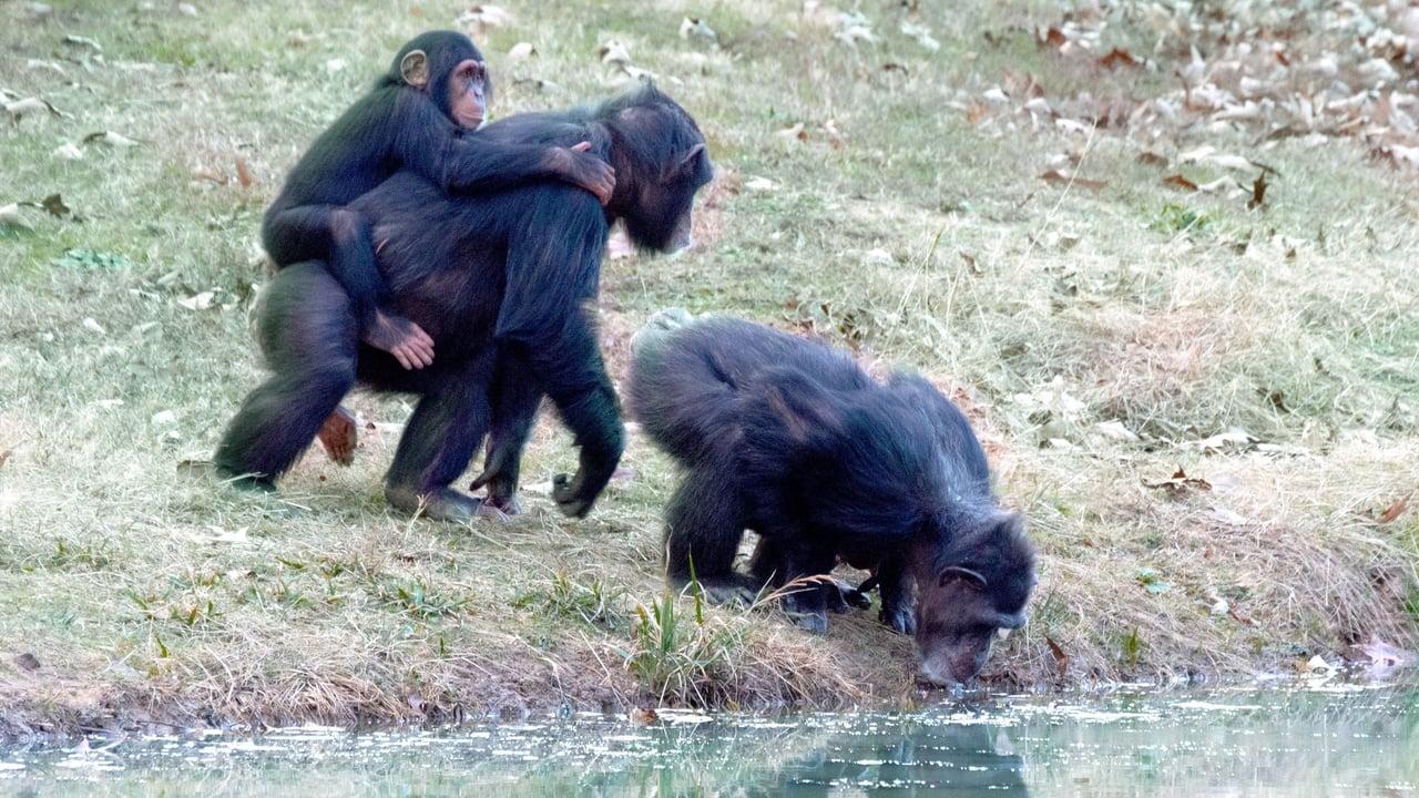 Meet the Chimps Episode: Episode 2