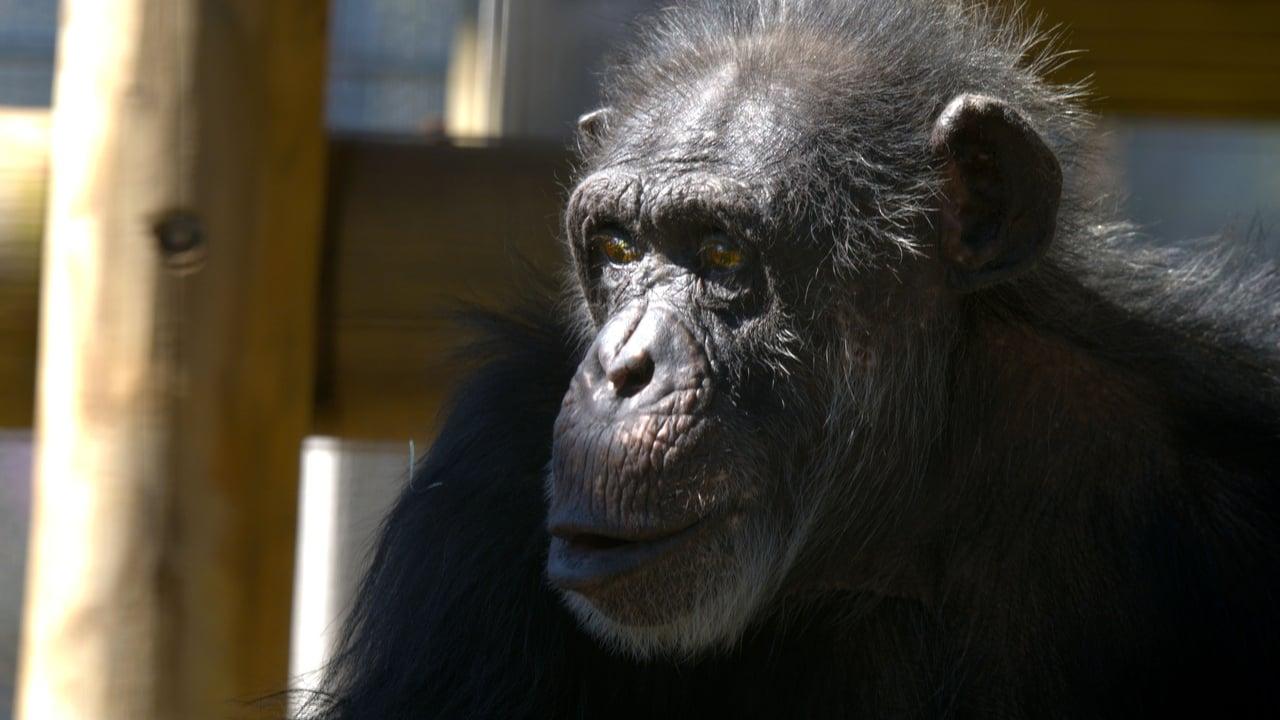 Meet the Chimps Episode: Episode 4