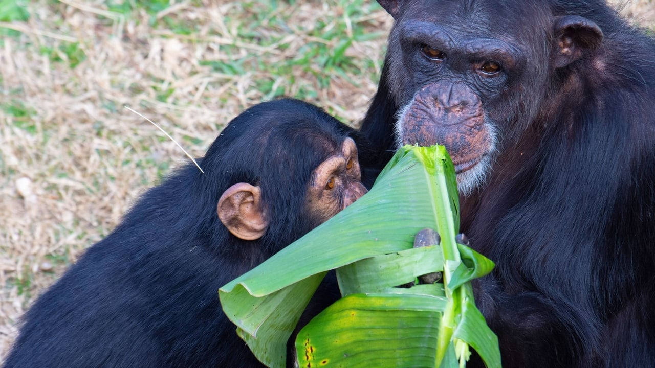 Meet the Chimps Episode: Episode 5