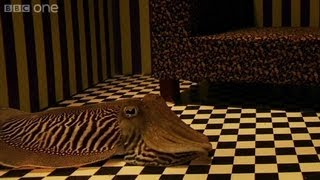 Can Cuttlefish camouflage in a living room  Richard Hammonds Miracles of Nature  BBC