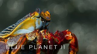 Lightfoot crabs ambushed by eels and octopuses  Blue Planet II  BBC