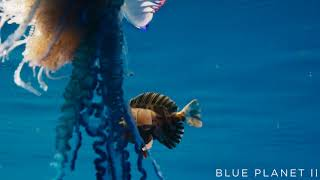 The deadly tentacles of the Portuguese man o war  Blue Planet II  BBC One